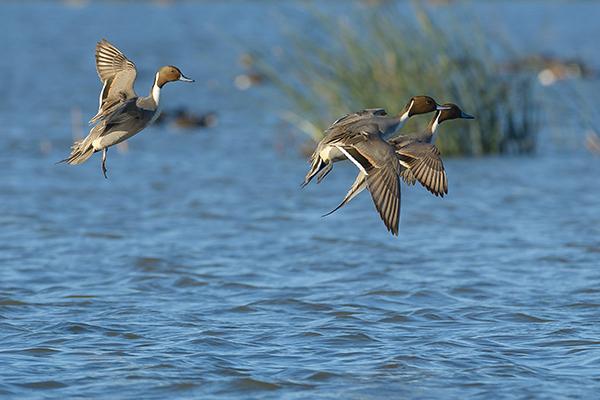 Wasservogelreservat Wallnau Wasservögel